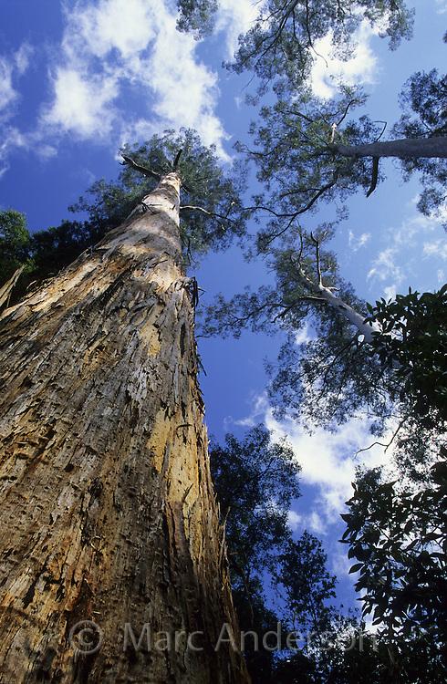 Huge Eucalyptus trees called White Gums, Eucalyptus viminalis, Tasmania