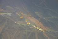 Northern Pikeminnow<br />