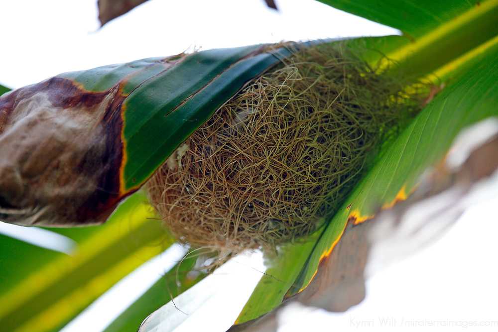 USA, California, San Diego. Hooded Oriole nest in Banana Leaf.