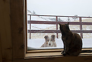 Calico cat sets in window watching cold Australian Shepherd dog outside<br /> PROPERTY RELEASED