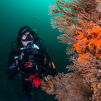 Diver in underwater scene, Liancourt Rocks (Dokdo), South Korea.