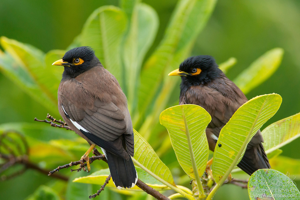 Two common mynas (Acridotheres tristis) share a perch in a tree on the island of Maui, Hawai`i. The common myna, sometimes referred to as the Indian Myna or spelled mynah, is native to Asia, but is rapidly spreading its territory. Its native range spans southern Asia from Iran to Singapore, but the bird has since been introduced in many other parts of the world, including Australia, Hawaii, Canada, and islands in the Indian Ocean. The International Union for Conservation of Nature (IUCN) declared the myna one of the world's most invasive species.