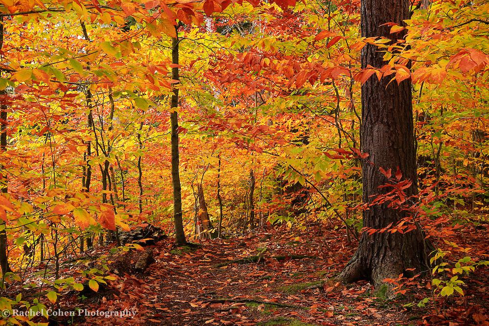 &quot;Variegated Autumn&quot;<br /> <br /> Step into the magic of autumn's golden delight!!<br /> <br /> Autumn Landscapes by Rachel Cohen