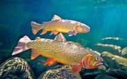 Cutthroat Trout, Underwater