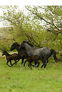 Quarter Horses, mares and foals running, Blue Roan, Black<br /> PROPERTY RELEASED