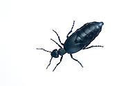 Oil beetle sp. in the field studio, France