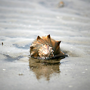 Little live Conch marooned on the beach, head on shot.