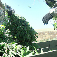 (very green grow)  --  Two Army National Guardsmen stack marijuana plants in the back of a large truck after Washington State Patrol officers eradicated the plants from several grows along the Touchet River Thursday morning. The State Patrol gives a rough street value of $1500 to each plant and estimated the six grows eradicated Thursday morning contained more than 1,000 plants.        Thursday, July 31, 2008        MZ Photo