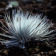 Unique silver sword (argyroxiphium sandwicense), indigenous to the slopes of Haleakala and found nowhere else on Earth, graces many areas of this sleeping volcano, Haleakala National Park, Maui, Hawaii.