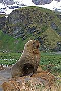 Antarctic Fur Seal.Arctocephalus gazella.Gold Harbor, South Georgia.25 January 2003