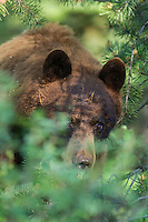 Cinamon black bear in early summer in Grand Teton National Park
