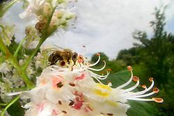 Honey bee (Apis mellifera), Kiel, Germany | Die Honigbiene (Apis mellifera) sammelt Nektar in auf einer Kastanienblüte.  Kiel, Deutschland