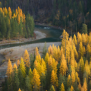 Forests of Western Larch (Larix occidentalis) and the North Fork Flathead River, Flathead National Forest Montana USA