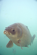 Bigmouth Buffalo, Underwater