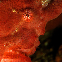 Red painted Frogfish, Antennarius Pictus, at Puerto Galera, Philippines.