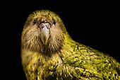 Kakapo Pictures - Photos