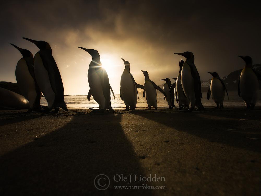 King Penguins (Aptenodytes patagonicus) on beach at sunrise in South Georgia.