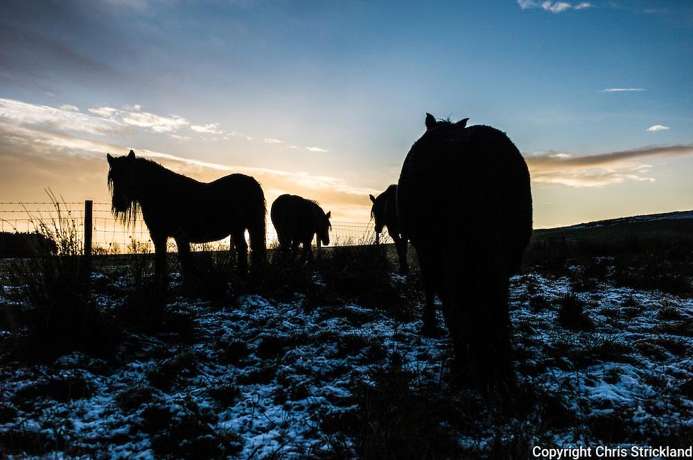 Towford, Jedburgh, Scottish Borders, UK. 8th December 2014. Fell ponies grazing.