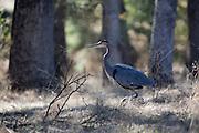 Great Blue Heron in Oak woodland