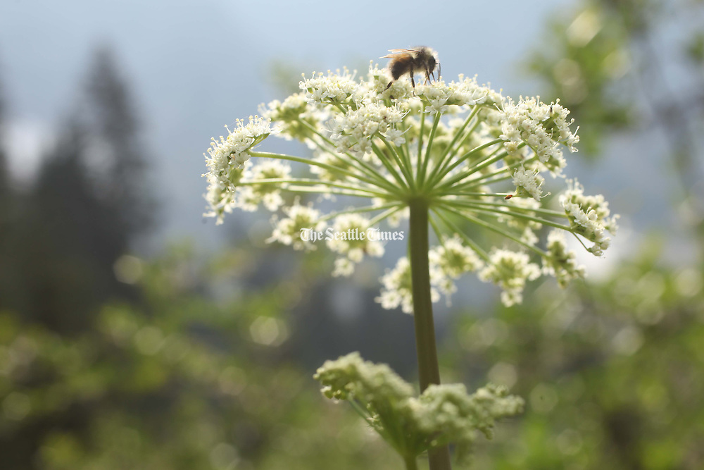 A bumble bee maneuvers near the trail to Easy Pass in North Cascades National Park. (Erika Schultz / The Seattle Times)