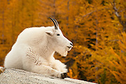 Mountain goat at Leprechaun Lake, The Enchantments, Alpine Lakes Wilderness, Washington.