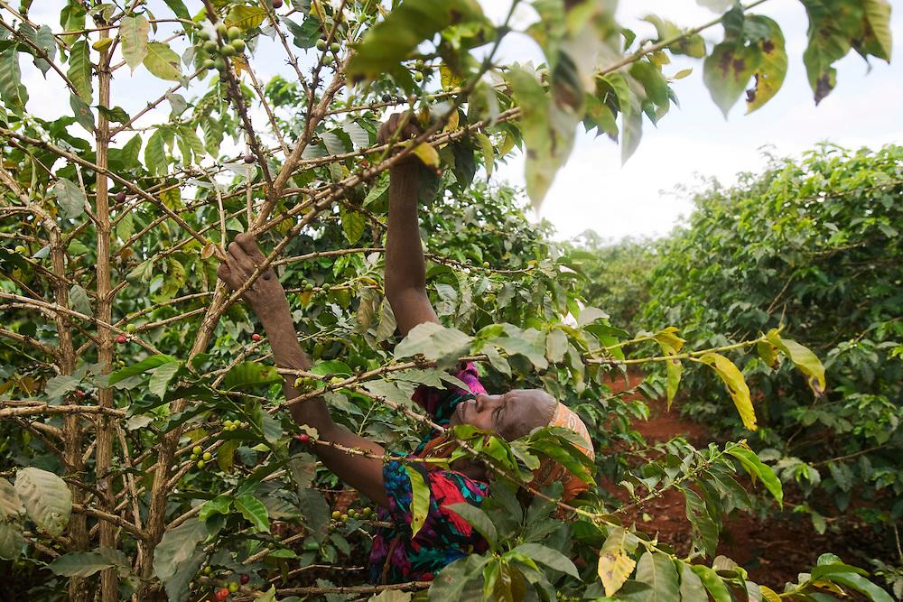 Africa, Kenya, Ruira, (MR) Elderly woman picking Arabica coffee beans during harvest at Socfinaf's Oakland Estates plantation