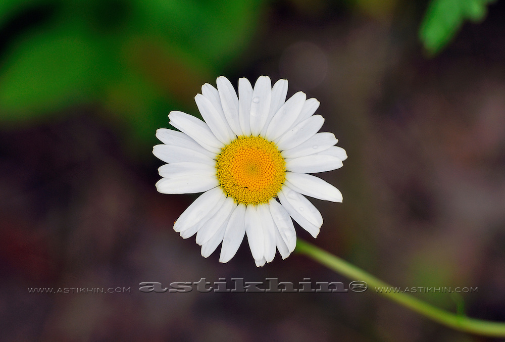 Small daisy in the forest
