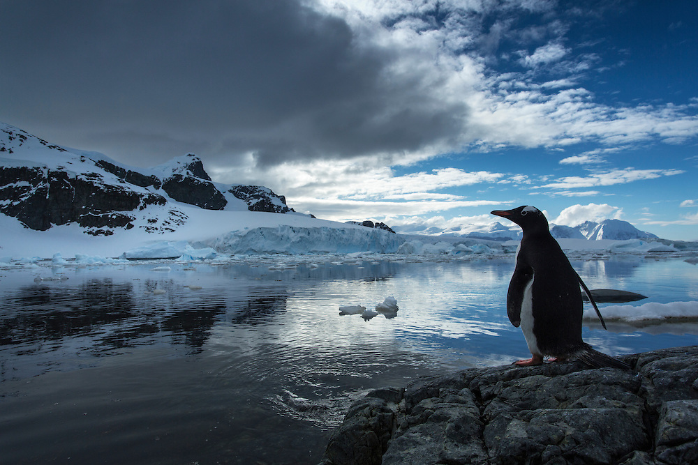 Antarctica, Gentoo Penguin (Pygoscelis papua) standing in shadows along Cuverville Island's shoreline