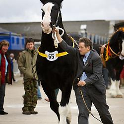 Mr W Bedford's Black Stallion  Brownroyd Dark Shadow  f 2003<br /> s   Landcliffe Tomahawk<br /> d   Brownroyd Early Dawn<br /> Bred by K Tordoff   Bradford, West Yorkshire