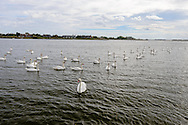 Swans, Haygound Cove, Water Mill, Long Island, NY