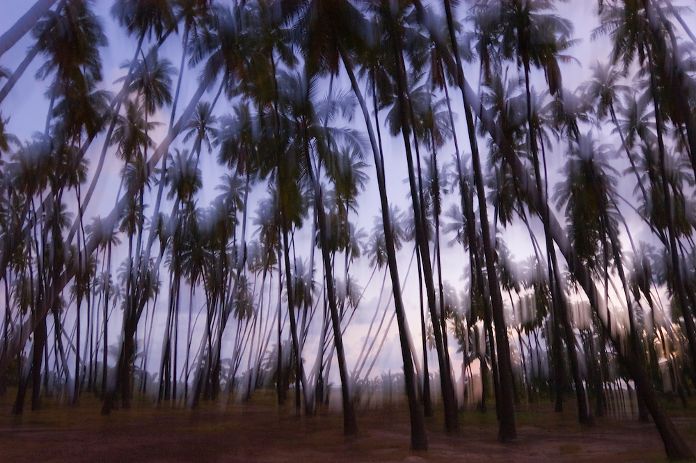 Coconut palm trees at dusk, Kapua'iwa Royal Coconut Grove, Kaunakakai, Molokai, Hawaii.