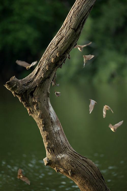 South America, Peru, Amazonia,South Manu National Park South America; Peru; Amazonia; Manu; National Park; UNESCO; World Heritage;bats on log, (m)