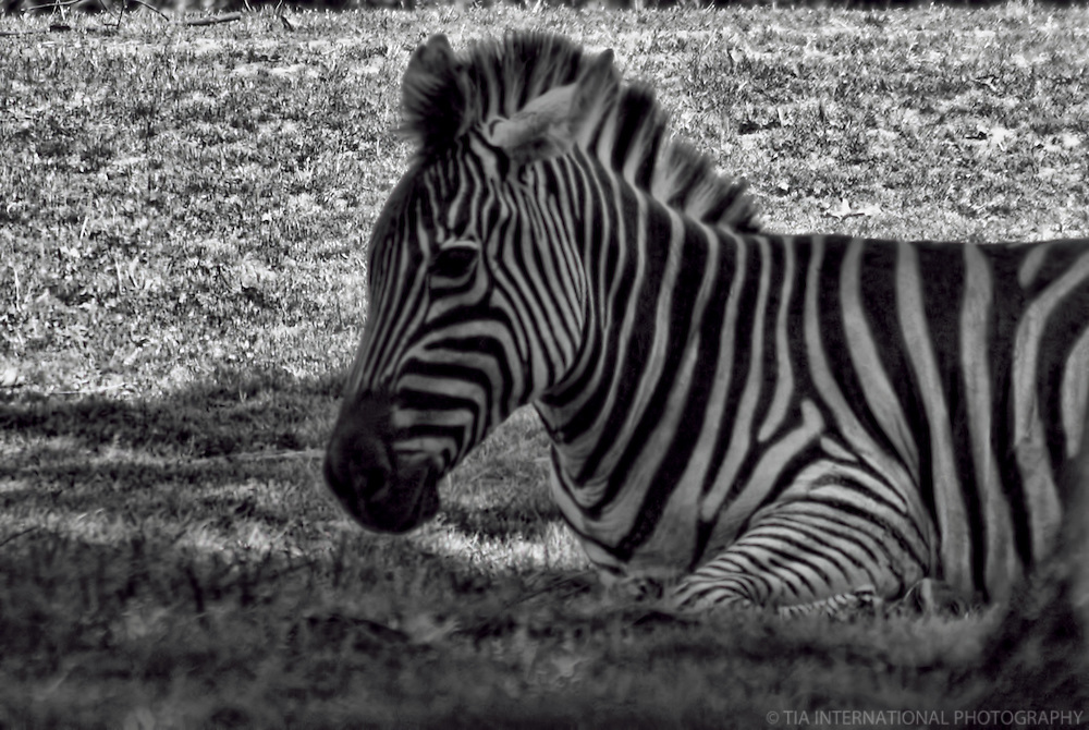 Zebra / Woodland Park Zoo, Seattle