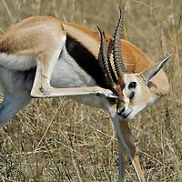 Wildlife of the Masai Mara National Park.  Kenya. Africa