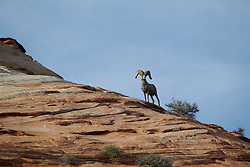 A bighorn sheep stands on a ridge over checkerboard mesa in Zion National Park, Utah.