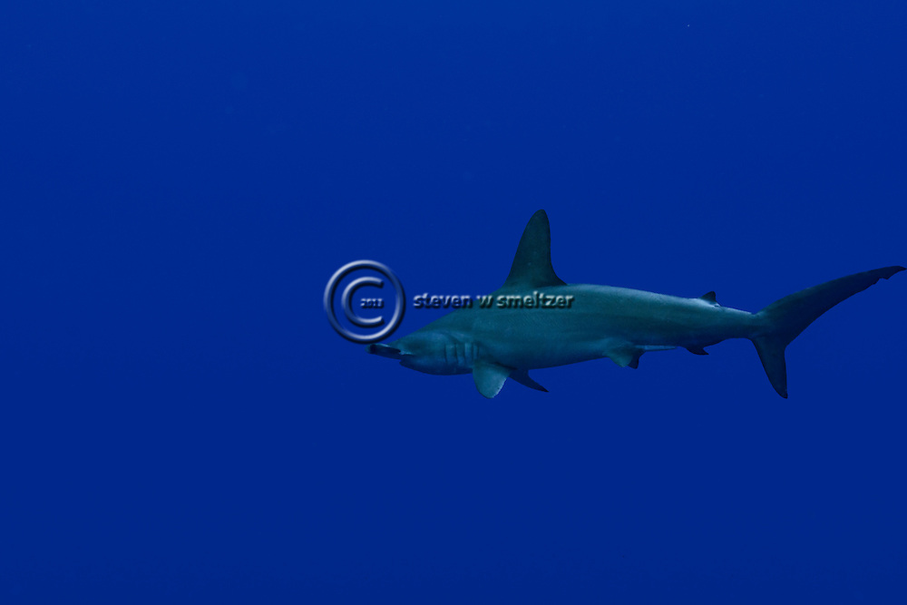 Scalloped Hammerhead Shark, Sphyrna lewini, Molokai Hawaii, Moku Ho'oniki Rock