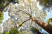 View up into sunlit canopy of dipterocarp tree at Poring Hot Springs