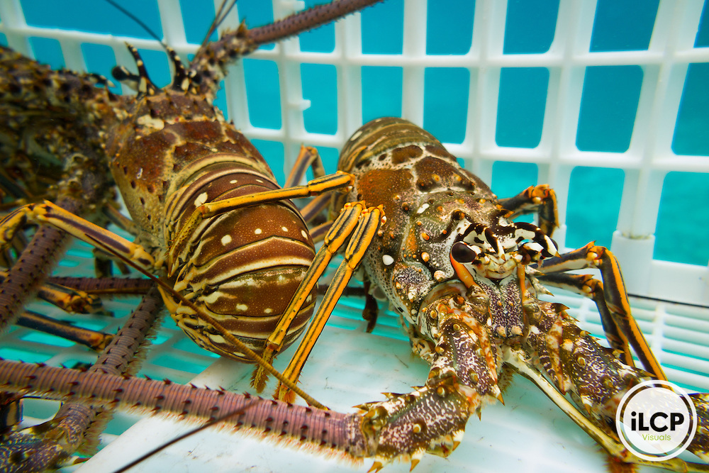 Lobster held live in the boatside crate await transport back to town in Punta Herrero, a small, remote fishing camp in the Sian Ka'an Biosphere Reserve in southernmost Caribbean Mexico. Fishermen use 'casitas cubanas', small concrete hutches that provide shelter and attract lobsters to concentrated areas where they can be more sustainably and effectively harvested by hand. This helps avoid by-catch, taking berried females and juveniles, and unnecessary impact to the reef. By limiting the fisherman's range through free diving it also leaves a larger population of larger lobsters in deeper water that can 'resupply' the shallow water populations. Lobsters are held in live tanks and driven every few days out to the cites where buyers purchase them for regional distribution to hotels and restaurants in places like Cancun. From a 2014 iLCP (International League of Conservation Photographers) expedition project documenting the people and places of the Mexican section of the Mesoamerican Reef (MAR).