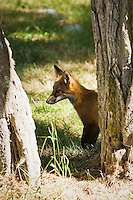 A Red Fox on the grounds of the American Camp National Historical Park, San Juan Island, Washington, USA.