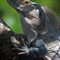 Costa Rica, Tamarindo. A male Green Iguana of Central America.