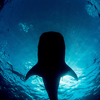 More giants: Mexico's whale sharks