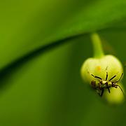 A small bug on a lily of the valley. Rather rare to find. En smaltege på en liljekonvall, ganske sjeldent å finne. Bildet er tatt i Trondheim i 2009, under en utflukt med Biofoto MidtNorge.