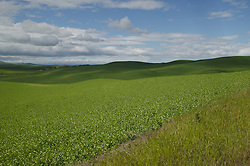 Fields of green line the hills of the Palouse area, Washington.