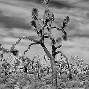 Joshua Tree - Infrared Black & White