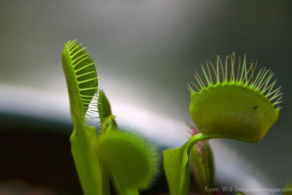 USA, California, San Marino. Venus Flytrap plant at Huntington Library Botanical Gardens.
