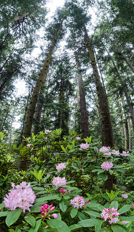 Native rhododendron flowers (in the heath family, Ericaceae) bloom pink-magenta in this vertical panorama on May 19, 2015 at the southern base of Goose Rock Summit Trail in Deception Pass State Park, on Whidbey Island, in Washington, USA. This panorama was stitched from 7 overlapping photos.