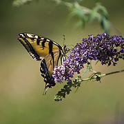 Swallowtail Butterfly on Butterfly Bush