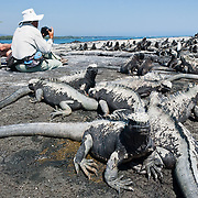 The Galapagos Marine Iguana (Amblyrhynchus cristatus) thrives on Punta (Point) Espinoza, on Fernandina (Narborough) Island, Galápagos Islands, a province of Ecuador, South America. Marine Iguanas, the world's only sea-going lizard species, are found nowhere else on earth. Marine Iguanas feed almost exclusively on marine algae, expelling the excess salt from nasal glands while basking in the sun, coating their faces with white. Marine Iguanas live on the rocky shore or sometimes on mangrove beaches or marshes. Most adults are black, some grey, and the young have a lighter colored dorsal stripe. The somber tones allow the species to rapidly absorb the warm rays of the sun to minimize the period of lethargy after emerging from the frigid water, which is cooled by the Humboldt Current. Breeding-season adult males on the southern islands are the most colorful and will acquire reddish and teal-green colors, while Santa Cruz males are brick red and black, and Fernandina males are brick red and dull greenish. The iguanas living on the islands of Fernandina and Isabela (named for the famous rulers of Spain) are the largest found anywhere in the Galápagos. The smallest iguanas are found on Genovesa Island. Fernandina Island was named in honor of King Ferdinand II of Aragon, who sponsored the voyage of Columbus. In 1959, Ecuador declared 97% of the land area of the Galápagos Islands to be Galápagos National Park, which UNESCO registered as a World Heritage Site in 1978. Ecuador created the Galápagos Marine Reserve in 1998, which UNESCO appended in 2001.