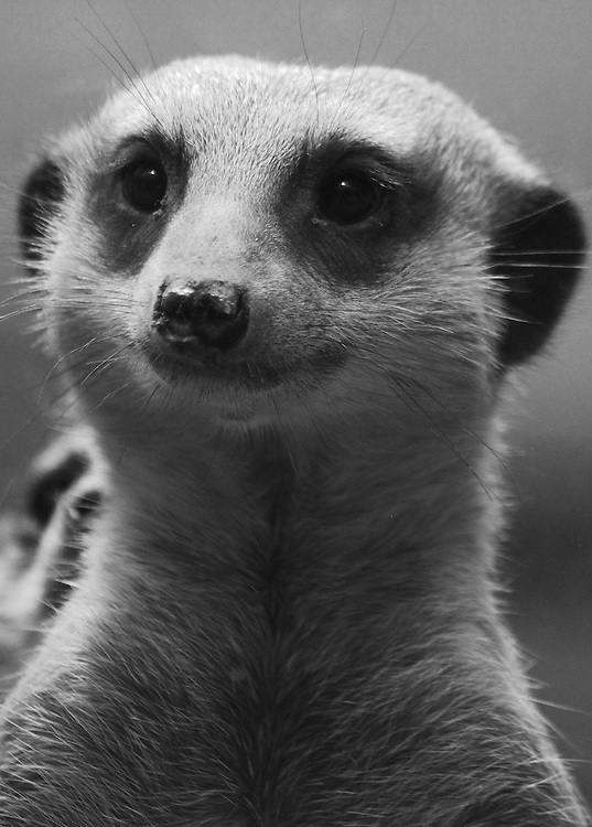 A black and white portrait of a (captive)meerkat