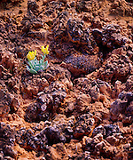 0303-1066 ~ Copyright:  George H.H. Huey ~ Cryptobiotic crust with sprouting Newberry's twinpod [Phhysaria newberryi].  Canyonlands National Park, Utah.